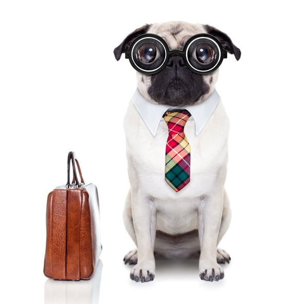 pug dog with suitcase going to work with nerd glasses and big ugly eyes, isolated on white background